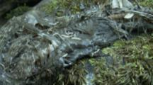 Dead Salmon With Maggots