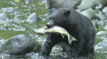 Black Bear Hunts Salmon,Catches Salmon Which Expels Eggs