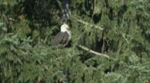 Bald Eagle Takes Off From Conifer Tree, Lands