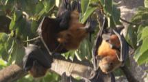 Pemba Flying Foxes In Trees,one is preening