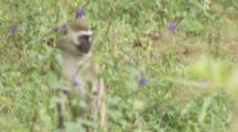 Vervet Monkey Exits Forest For Grassy Area