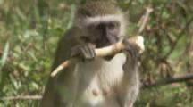 Vervet Monkey Feeds In Grassy Area Near Forest