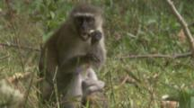 Vervet Monkey with baby,Feeds In Grassy Area Near Forest