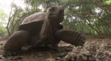 Giant Tortoise In Forest crawls toward camera