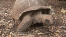 Giant Tortoise Walks In Forest