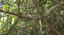 Snake Climbs Through Branches Of Mangrove