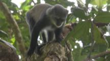 Sykes Monkey Strips Bark To Feed In Forest