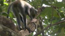 Sykes Monkey Strips Bark To Feed In Forest,disturbs ants