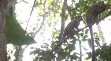Squirrel Monkeys climb and jump In Jungle