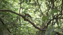 Squirrel Monkey Runs Along Branch In Jungle