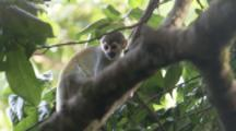 Squirrel Monkey Climbs tree In Jungle