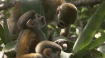 Squirrel Monkey with babies In Jungle