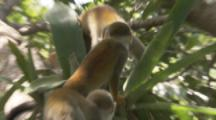 Squirrel Monkeys search for food In Jungle
