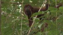 Howler Monkeys In Jungle