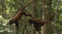 Howler Monkeys In Jungle use prehensile tail