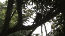 Howler Monkey In Jungle