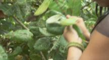 Indigenous People In Amazon Forest,Bullet Ant Ritual,picking leaves