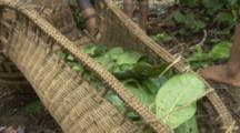 Indigenous People In Amazon Forest, Bullet Ant Ritual
