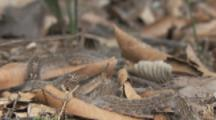 Trail Of Hairy Caterpillars On Forest Floor