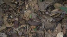 Ants,Possibly Army Ants,Crawls Over Leaf Litter on Forest Floor
