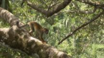 Squirrel Monkey In Jungle