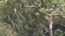Monkey,Possibly Woolly Monkey,Travels In Tree In Cloud Forest