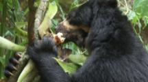 Spectacled Bear Feeds In Forest