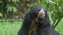 Spectacled Bear In Forest