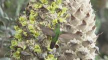 Hummingbird Feeds On Flowers of Puya Plant