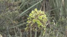 Hummingbird Feeds On Flowers, Possibly Puya Plant