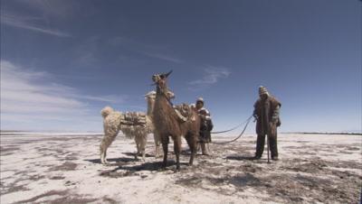 Leading Llamas Or Alpacas Carrying Harvested Salt