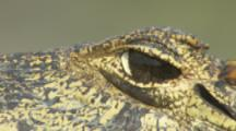 Caiman,close up of eye,bothered by fly or bee