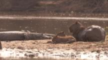 Capybara With Young At River,Near Resting Caiman