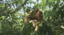 Howler Monkey With Baby In Tree