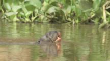 Giant Otter Swims In River
