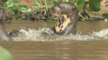 Giant Otters Play Or Fight In River