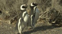 Magellanic Penguins Perform Mating Ritual Near Nests