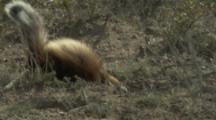 Patagonian Skunk digging,Foraging For Food