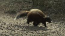 Patagonian Skunk walks through scrub
