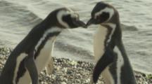 magellanic Penguins display courtship ritual on beach