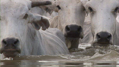 Men Riding Horses Herding Cattle In Swamp Area,Close Up Of White Cattle