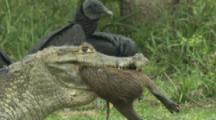 Spectacled Caiman Swallowing Capybara, With Black Vultures Watching