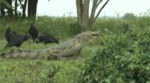 Spectacled Caiman Swallowing Capybara,With Black Vultures Watching