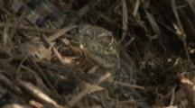 Spectacled Caiman Hatchling in leaf litter