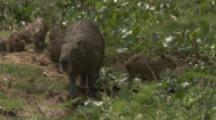 Mother Capybara with young at river bank