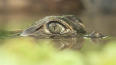 Spectacled Caiman Hatchling Floats In River,Eyes Only Seen