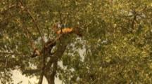 Red Howler Monkeys Climbing In Tree