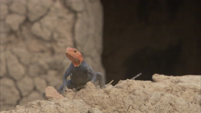 Agama Lizard Watches