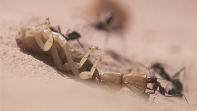 Desert Ants Carrying A Dead Scorpion in Blowing Sand