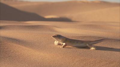 Sandfish Skink In Desert